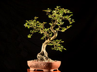 Bonsai Club Calendar Project