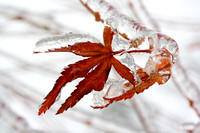 Icy Red Maple