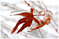 Icy Maple