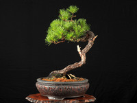 Olympia Bonsai Club Photos